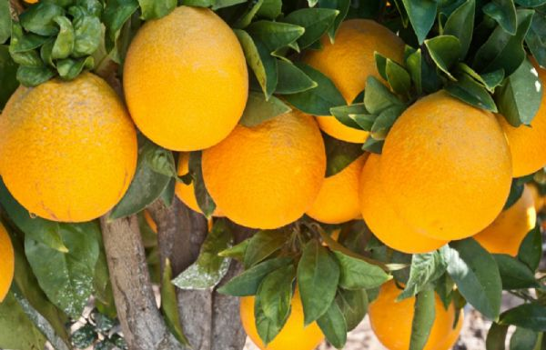 תפוז1