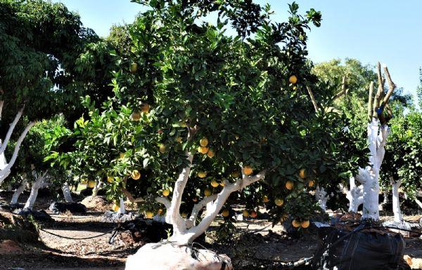 תפוז2