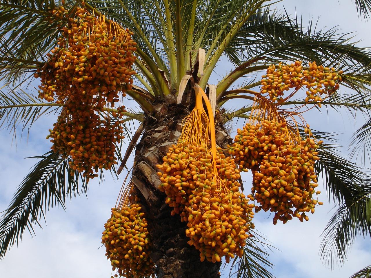 date palm, palm, dates