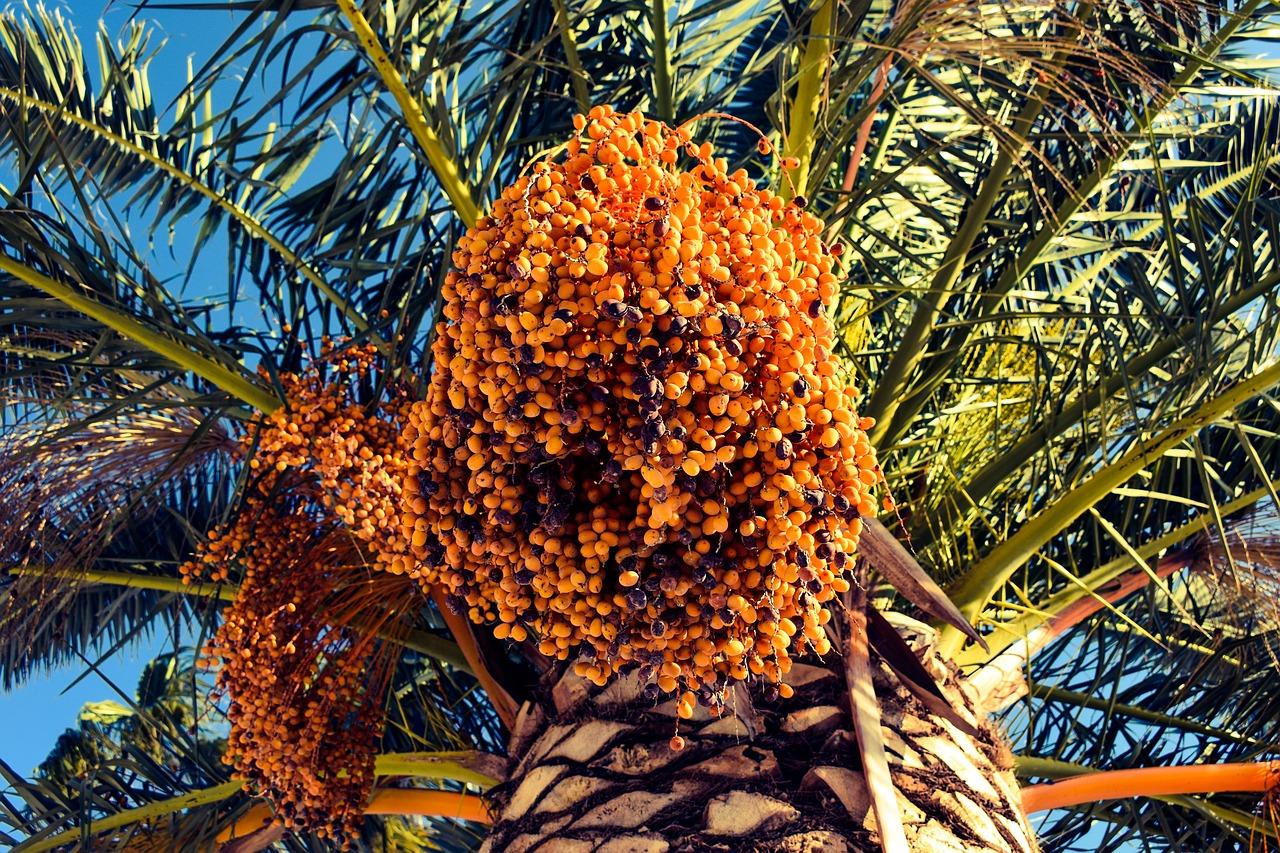 date, palm tree, nature