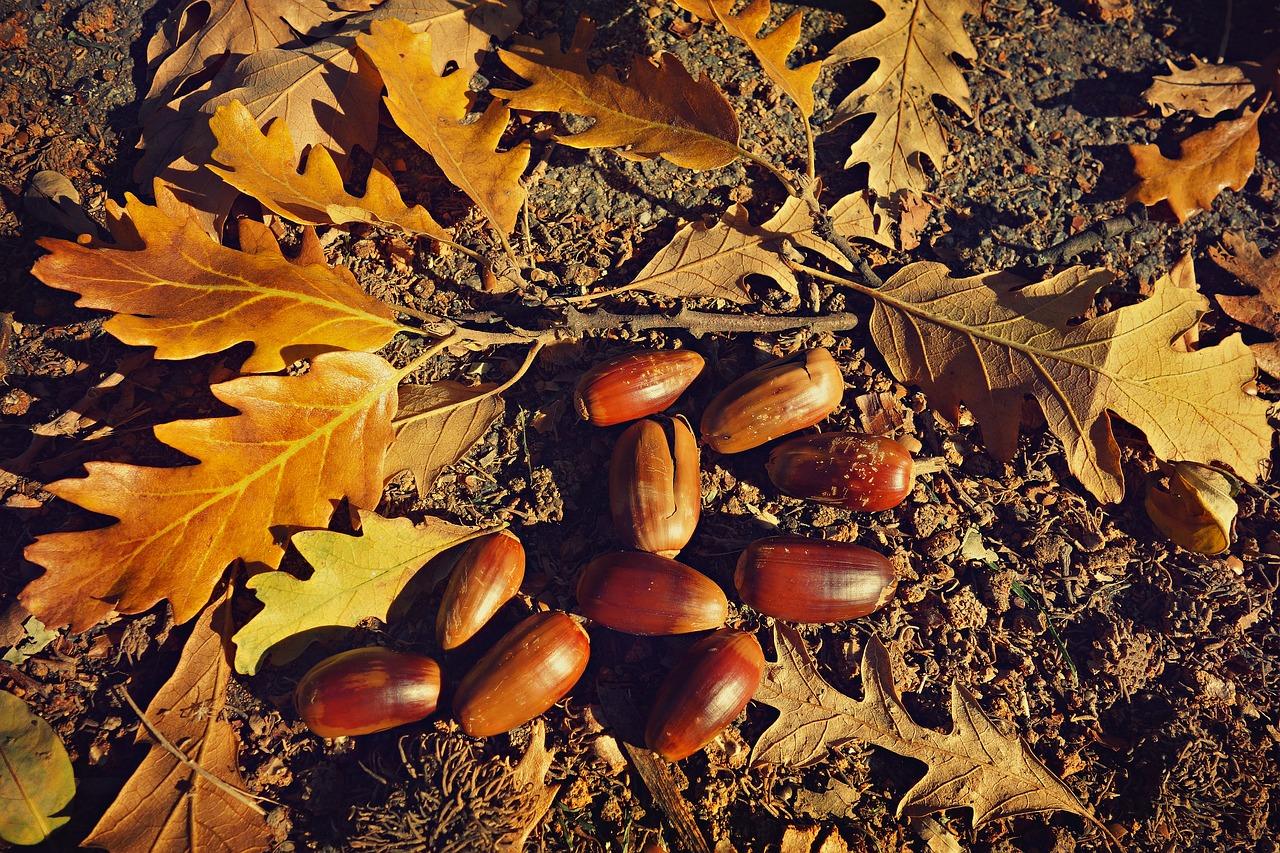 fallen acorn, nut, fallen oak leaf