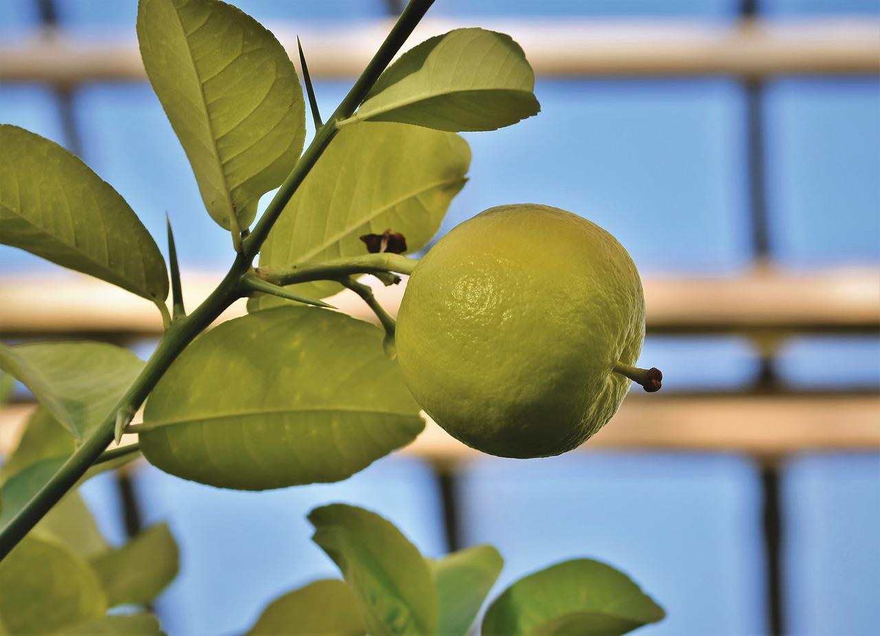 grapefruit, adam's apple, grown
