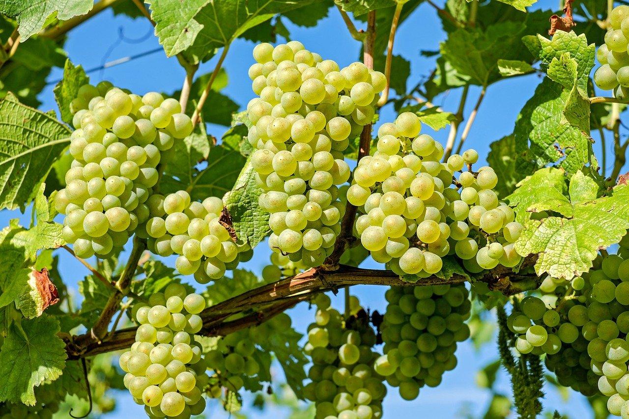 grapes, fruit, vine